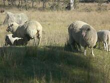 MOB OF X BRED SHEEP Armidale 2350 Armidale City Preview