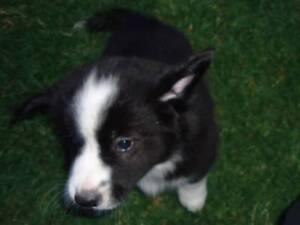 Border Collie x Australian Terrier Cross Greta Cessnock Area Preview