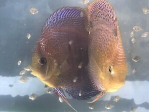 Red spotted Discus fish proven pair