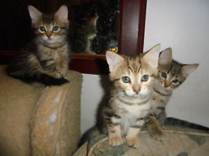 Three Free Adorable Kittens (corrected phone #)