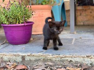 Ragdoll x Norwegian Forest Cat/Domestic