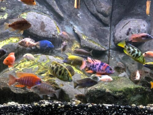 "10 pack ASSORTED AFRICAN CICHLIDS (unsexed) 1/2-3/4"" Juveniles + 1 month feed!!!"