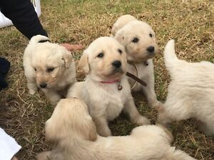 Labradoodle puppies ( Labrador x poodle )