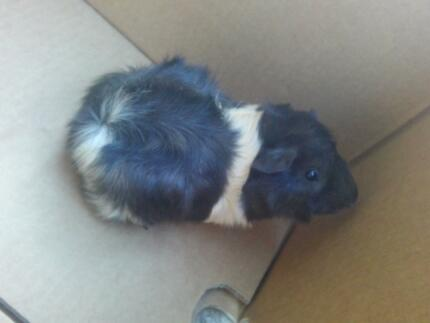 lovely guinea pigs for sale Paralowie Salisbury Area Preview
