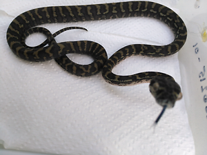 Coastal carpet pythons hatchies for sale or swap Cooroibah Noosa Area Preview