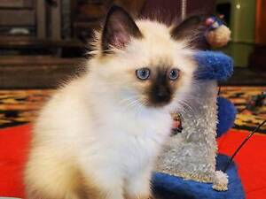 BIRMAN Seal Point  SOLD SOLD  ( Similar to Ragdoll ) Muckleford Mount Alexander Area Preview