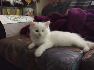 Turkish Angora 2 month old kitten