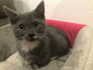 Munchkin 13 week old male kitten