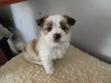 1  X SHIH TZU - 8 WEEKS OLD MALE Boronia Heights Logan Area Preview