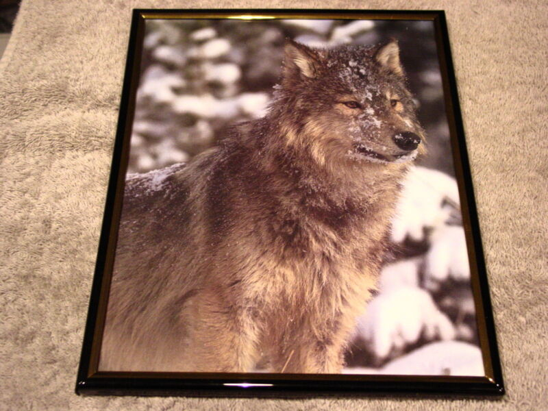 WOLF 8X10 FRAMED PICTURE #6