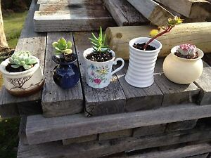Assorted Succulents North Motton Central Coast Preview