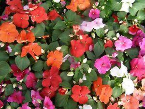 FLOWER IMPATIENS BUSY LIZZIE DWARF MIX 180 FINEST SEEDS