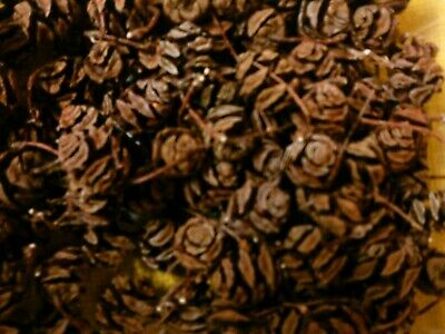 Konvolut ca 100 kleine Zapfen vom Urwald-Mammutbaum