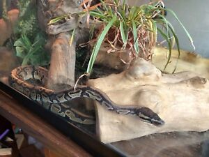 Ball python for sale 200$ or best offer