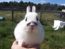 Purebred Broken Beige Netherland Dwarf Rabbit Buck For Sale. Bayswater Knox Area Preview