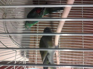 RED RUMP pair with cage and food Cambridge Kitchener Area image 1