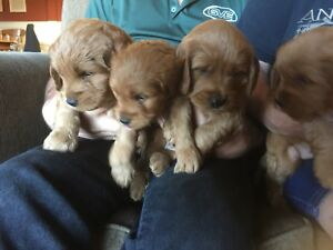 Midsized red goldendoodles