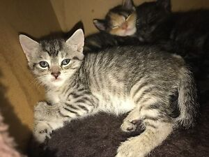 Kitten for sale Maitland Maitland Area Preview