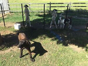 Great Dane mastiff wolfhound puppies Uki Tweed Heads Area Preview