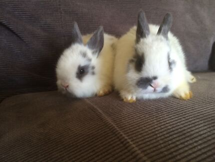 Netherland dwarfs babies super friendly. free delivery localy Tullamarine Hume Area Preview