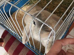 Mini lop rabbit 6months old Rockdale Rockdale Area Preview