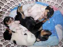 maltese cross jack Russell puppies Hammondville Liverpool Area Preview