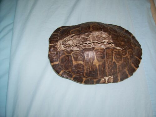 """WATER TURTLE 11"""" DRY SHELL"""