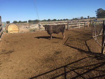 Murray Grey Bull for Sale