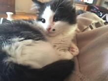 Norma Jean Baby Fluffy rescue kitten with beauty mark Ivanhoe Banyule Area Preview