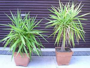 Yucca Plant 120cm - Mature - garnen bush tree Little Bay Eastern Suburbs Preview