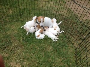 Jack Russell pups 4 sale