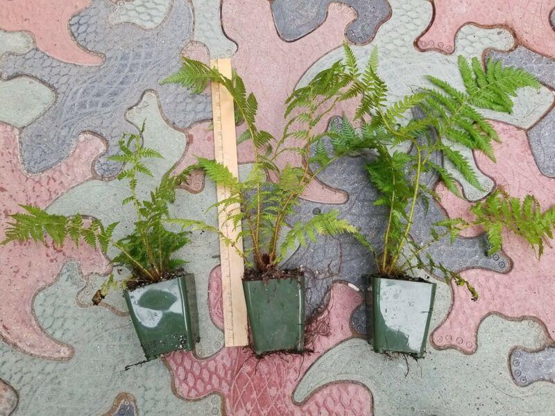 3  Cyathea treeferns