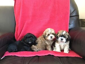 Shih-Tzu x Toy Poodle Puppies! READY TO COME HOME WITH YOU!