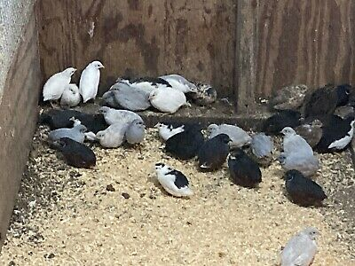10 Button Quail Hatching Eggs From Rare Colors All Kept In Separate Groups
