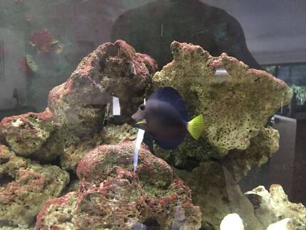 Purple Tang Saltwater fish
