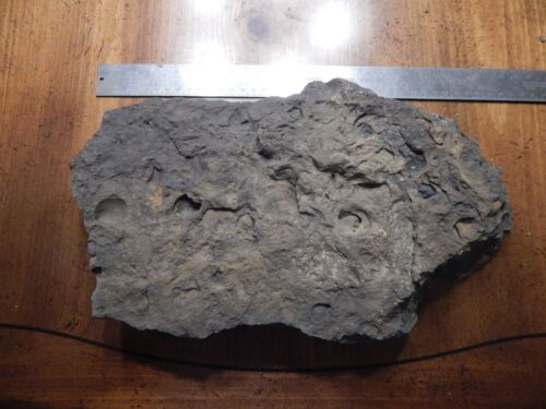 FOSSIL FOSSILIZED ROCK SHELL LARGE FROM OKLAHOMA 2X9X14 - 12#
