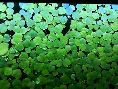 40 Amazon Frogbit (L. laevigatum) plants,  Freshwater Aquarium Shrimp Tank