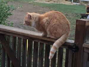 Found male orange tabby