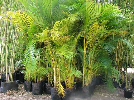 how to grow golden cane palms