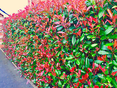 30 Photinia Red Robin Hedging Plants 25-40cm Evergreen Shrubs Supplied Potted