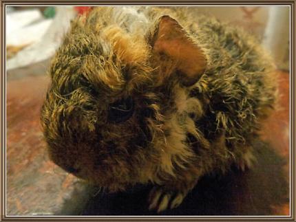 Quality Guniea Pig Merino Alpaca Sheba Peruvians Shelties