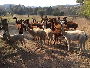 Alpaca Females Males & Wethers Benalla Area Preview