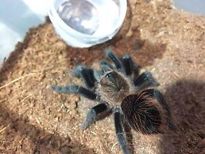 "Brachypelma Verdezi Tarantula Slings. Almost 4"""