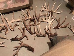Buy or trade shed antlers $$ deer elk moose