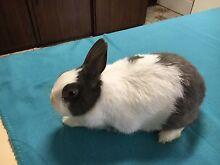 Beautiful Vienna Marked Netherland Dwarf Rabbit Bunny Female Doe Sunshine West Brimbank Area Preview