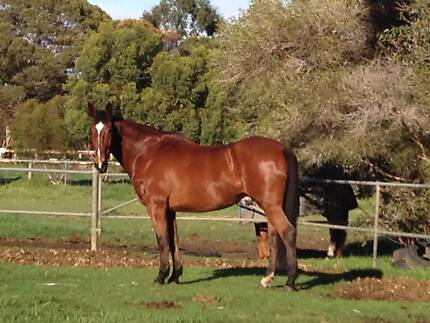 17.2hh 14yr old Cleveland Bay X Gelding for extremely sad sale. Wattle Grove Liverpool Area Preview