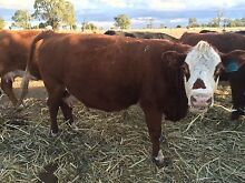 Herd cattle for sale Oakey Toowoomba Surrounds Preview