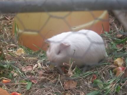 2 8weeks old white guinea pigs