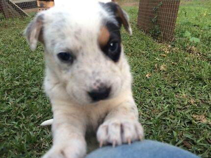 Cattle Dog x Border Collie Pups for sale Glass House Mountains Caloundra Area Preview