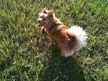 Pomeranian x Chihuahua Free to Good Home Mount Evelyn Yarra Ranges Preview